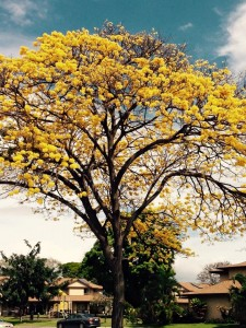 2015-03-10 Yellow Tree