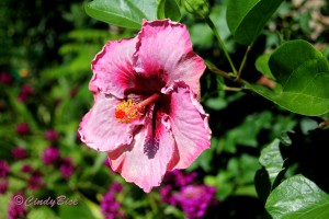 2016-04-26 13.WGS Red Throated Hibiscus