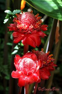 2016-06-28 22. WGS Red Torch Ginger